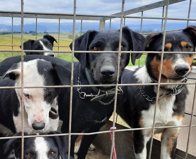 Black huntaway dog Lace (centre) sold for $8700 at the Lawrence Gymkhana Club dog sale in South...