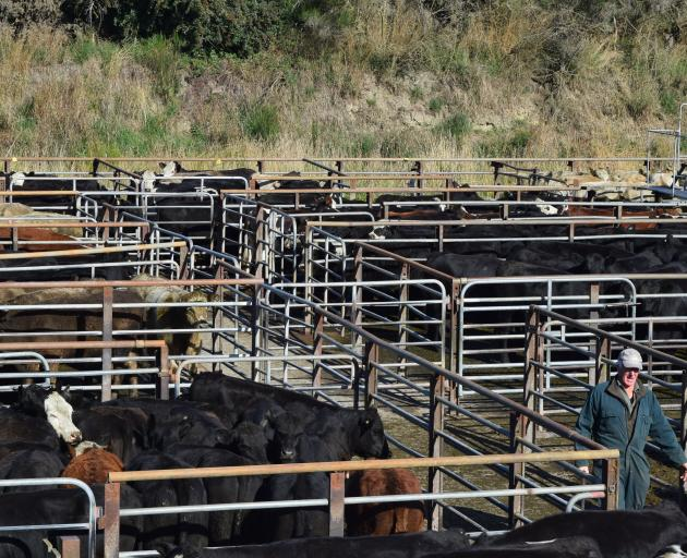 Drover David Copeland moves stock at the Balclutha Cattle Sale last week.