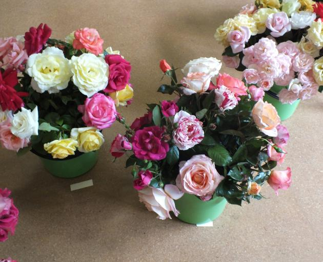 Roses left over from exhibition vases at last  year's Rose Ranfurly were displayed in buckets....