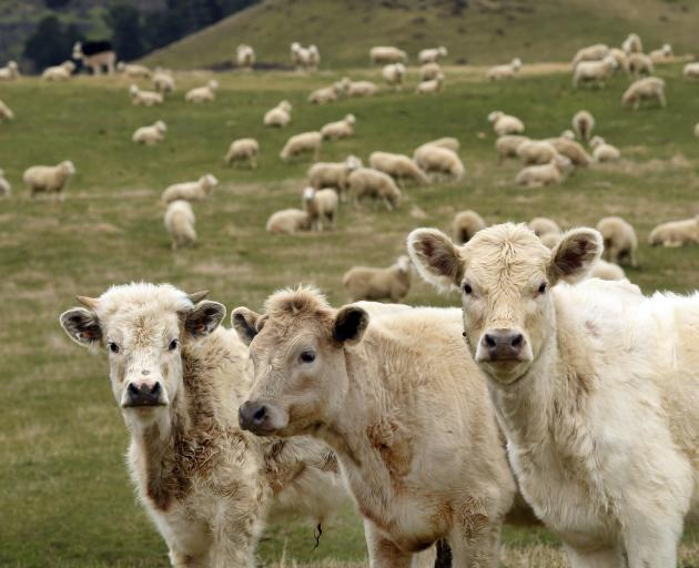 Red meat export revenue is forecast to drop for the 2020-21 season from the previous year. PHOTO:...