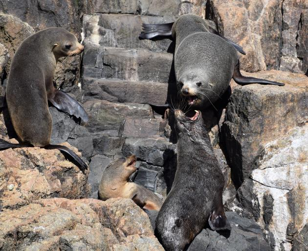 New Zealand fur seals fighting on Bounty Islands, photographed from a Zodiac.