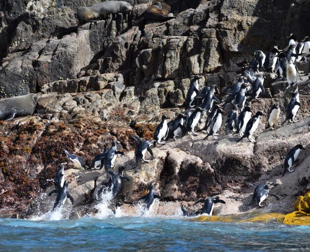 Penguins head back to their nests.