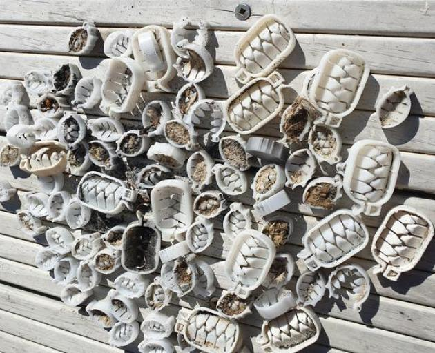 Oesophagus clips from the Mimitangiatua River Mouth Photo: Supplied