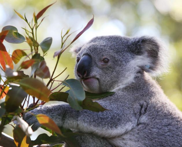 Koala numbers were plummeting before the black summer bushfires. Photo: Getty Images