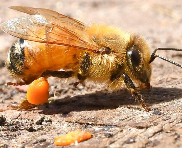 A western honey bee in one of Dunedin beekeeper Otto Hyink's urban hives used to identify exotic...