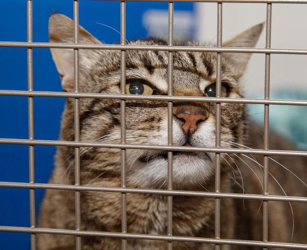 This male tabby named 'Nelson' needs a new home. Photo: Supplied