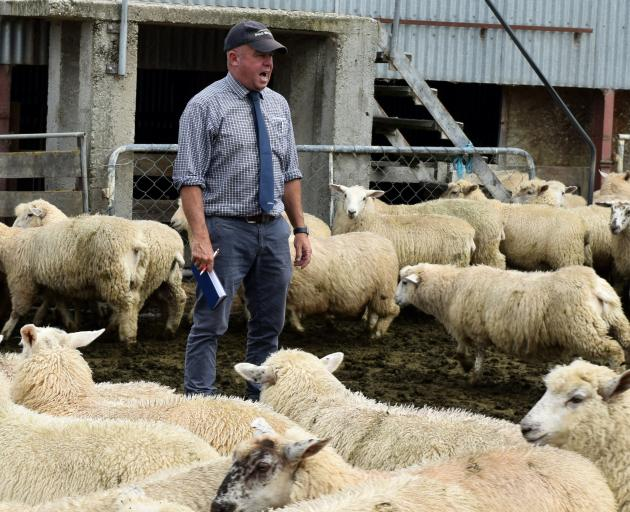 PGG Wrightson agent Chris Swale auctions a pen of store lambs at a clearing sale on Mt Joy farm...