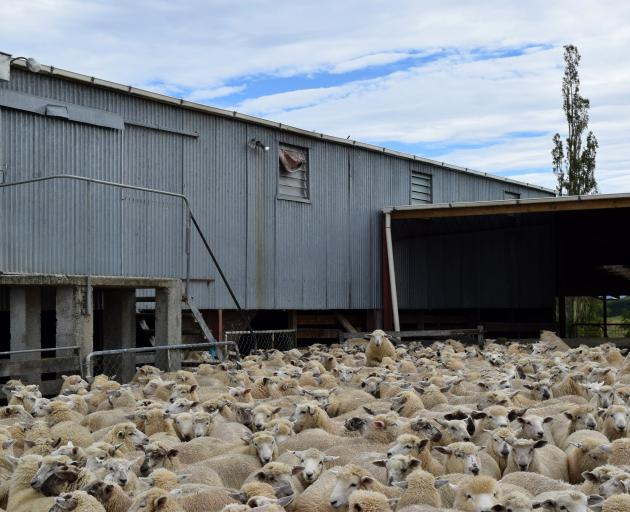 Store lambs wait to be auctioned at a clearing sale at Mt Joy farm near Clinton last week. PHOTOS...