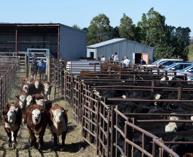 Drovers move a pen of calves at the Mt Benger Calf Sale near Roxburgh.