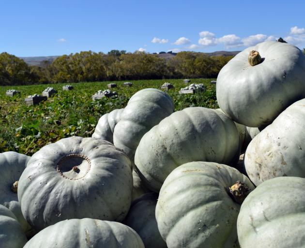 More than 100 bins of crown prince hybrid pumpkins lie in a paddock in Millers Flat.