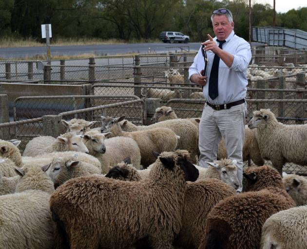 Rural Livestock agent Rob Fowler auctions a pen of sheep at the Balclutha Saleyards last week