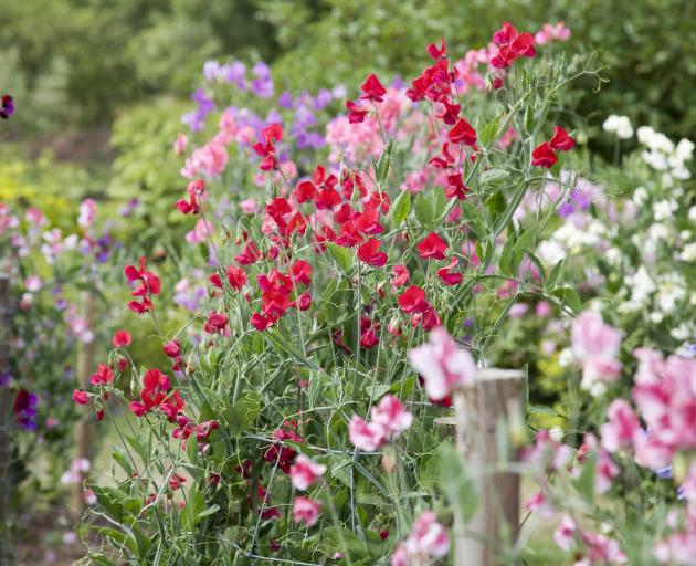 Sweet peas sown now produce stronger plants. Photo: Getty Images