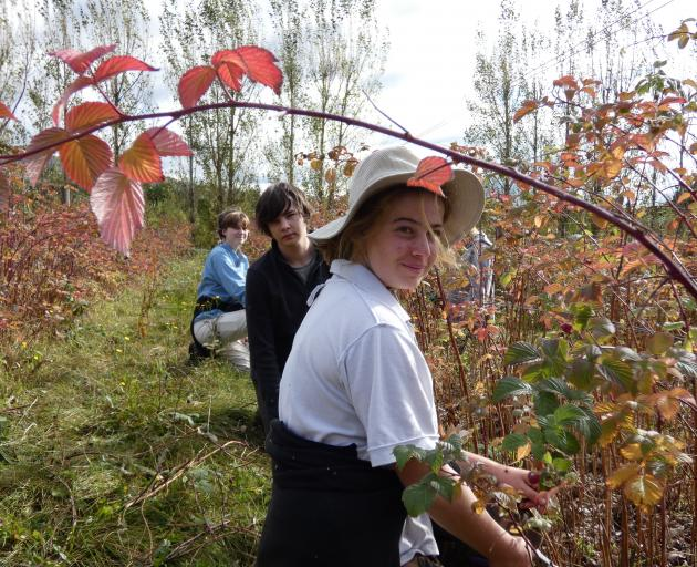 Pruning raspberry bushes in Ettrick yesterday are (from left) Cashmere High School pupil Flora...