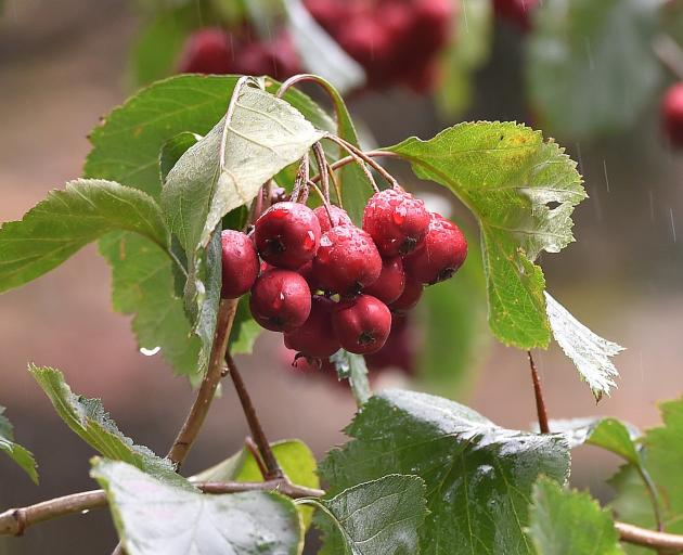 Crataegus jackii, which has thorns that could puncture a tyre, in fruit. PHOTO: GREGOR RICHARDSON