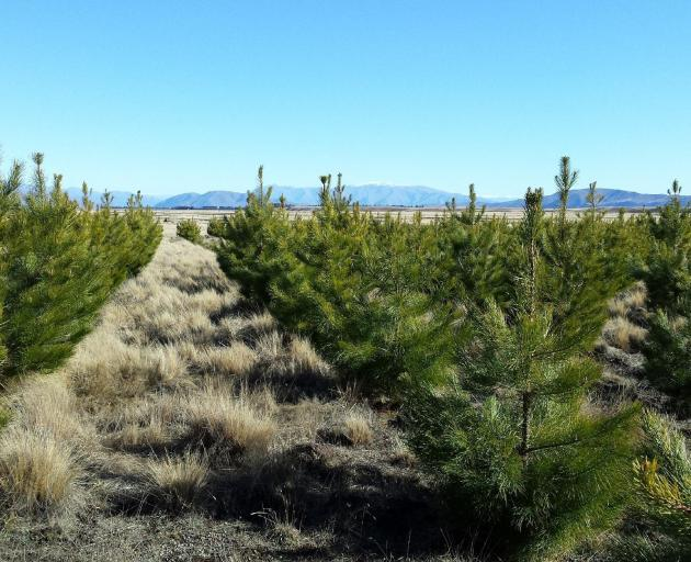Rows of Douglas fir trees planted on Balmoral Station in the Mackenzie district. PHOTO: SUPPLIED