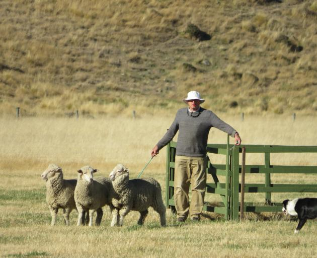 Ross Millar, of Banks Peninsula, competes in the yarding event on day one of the Mayfield Collie...