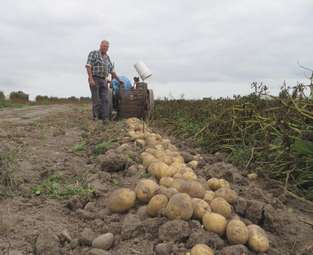 John Withell's potatoes are hand-picked after being dug up in single rows by the digger.