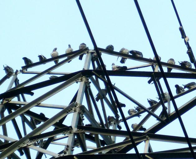 Pigeons above Dorothy Gosser's Memorial Ave home and across the road at Burnside Park are a...