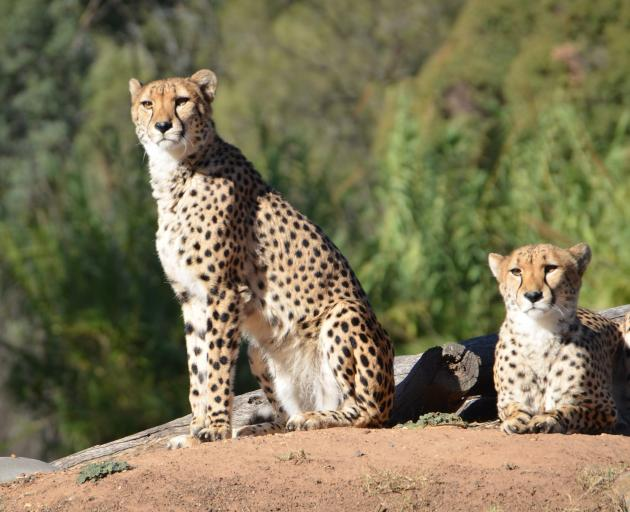 Taronga Western Plains has 4000 animals from more than 350 species including cheetahs, hippos,...