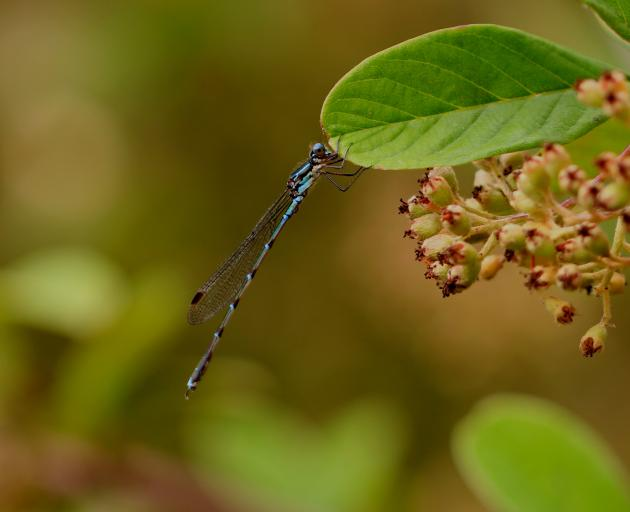 The blue damselfly — gorgeous creatures to have around, plus they have a voracious appetite for...