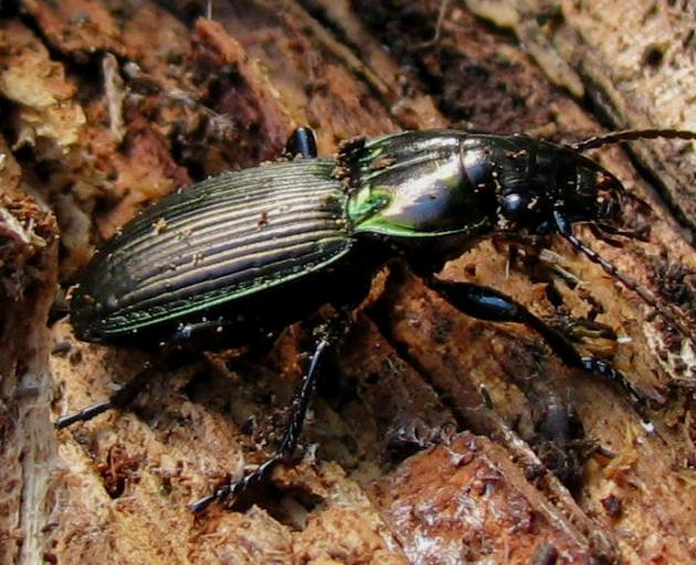 The metallic ground beetle does a great job of cleaning up unwanted pests and plays a vital part...