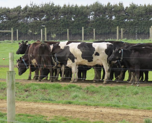 One of the four dairy herds waits to be milked at the Southern Dairy Hub, Makarewa. They will be...
