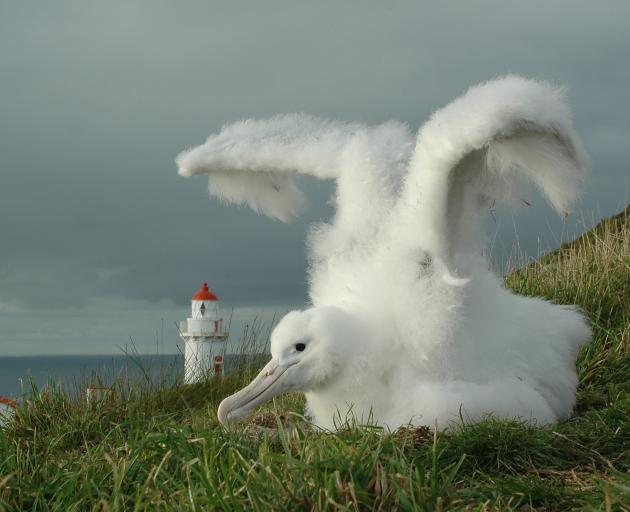 A fluffy royal albatross chick tests its wings at Taiaroa Head, Otago Peninsula. There will be...