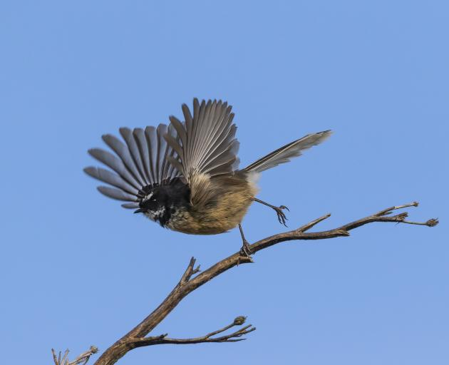 A piwakawaka/fantail caught mid-takeoff is one of the great images to be discussed during a...