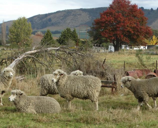 Some of Waimate High School's Corriedale stud sheep.