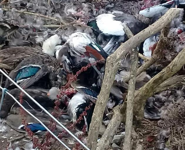Dead ducks found at the rest area between Port Chalmers and Long Beach on Thursday. PHOTO: SUPPLIED