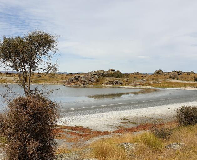 A hardy kowhai braves the saline soil, while a scatter of red spinach colonizes  the shore.