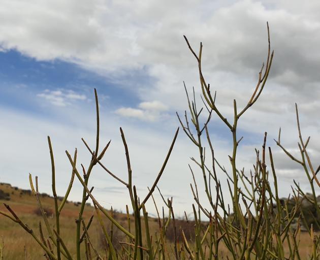 Native broom