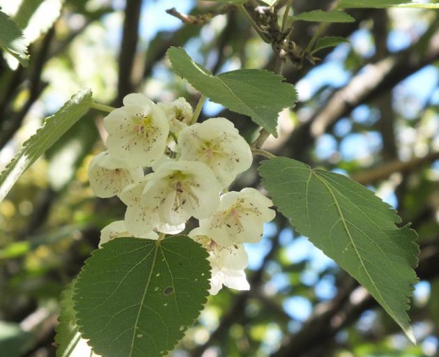Deciduous Hoheria glabrata has attractive summer flowers. Photos: Gillian Vine