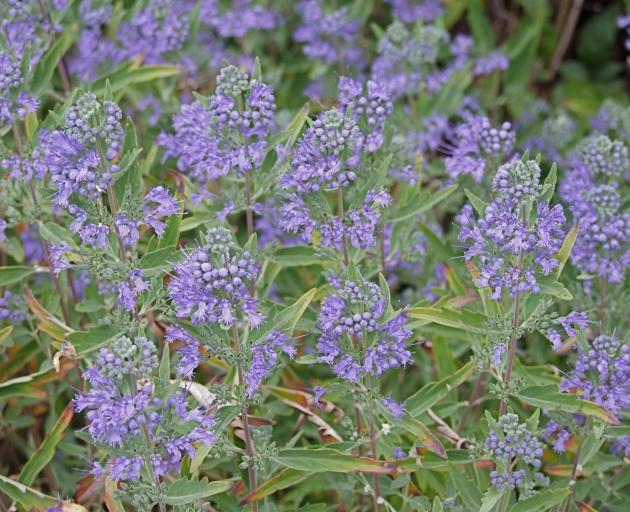 Russian sage (Perovskia atriplicifolia) stands out for its long flowering period.