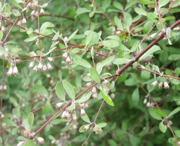 Rare Olearia hectori is deciduous.