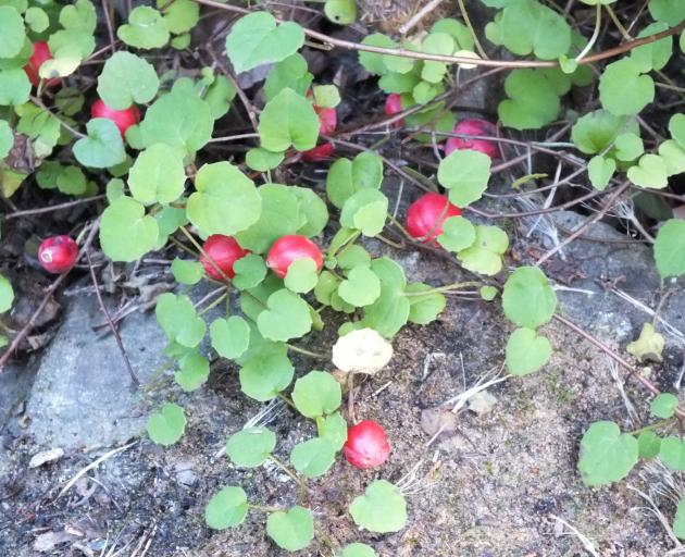 Cute little Fuchsia procumbens tends to lose its leaves in winter if grown in an  exposed place.