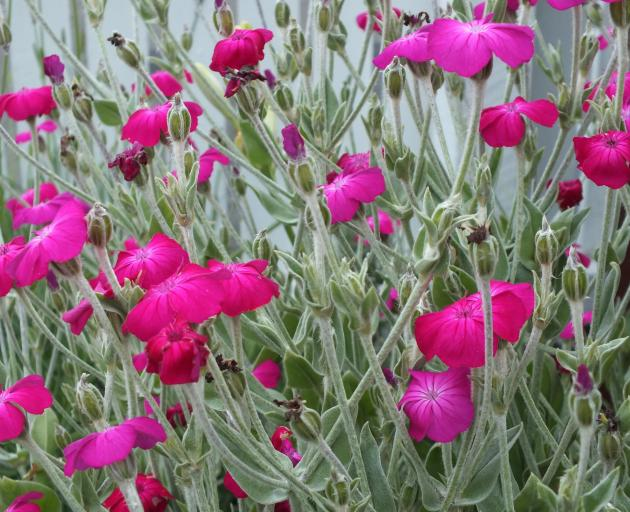 Magenta Lychnis coronaria hits a high note on the colour scale.