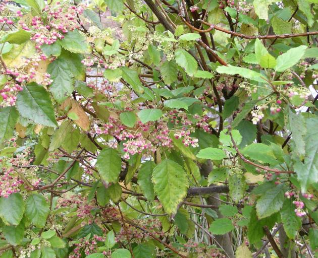 Spring flowering wineberry (Aristotelia serrata) may drop its leaves in autumn.