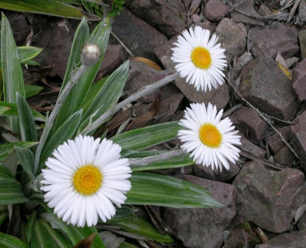 The silver foliage of native celmisias contrasts with the white flowers.