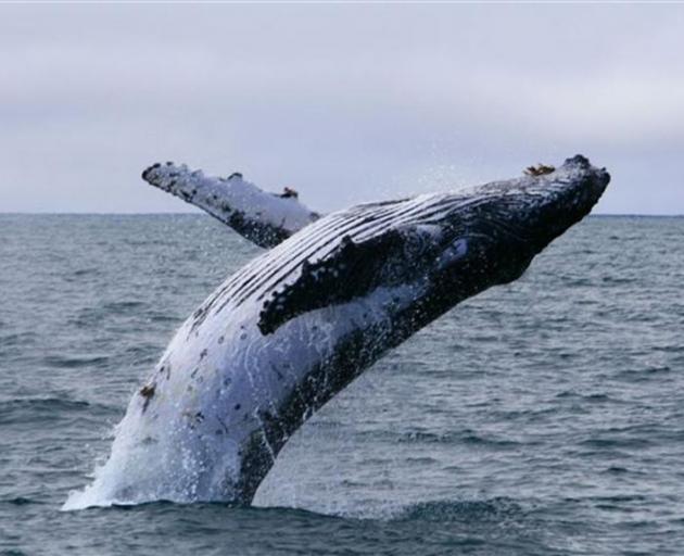 A humpback whale calf breaches near Taiaroa Head. Photo by Monarch Wildlife Cruises.