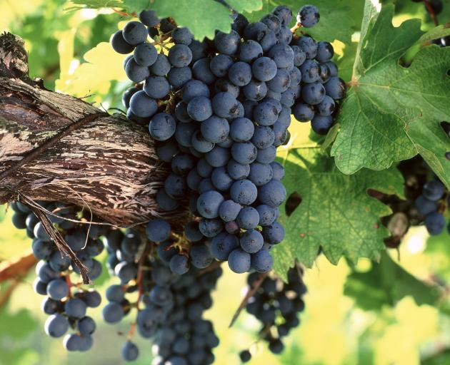Ripe cabernet sauvignon grapes hanging on the vine.PHOTO: GETTY IMAGES