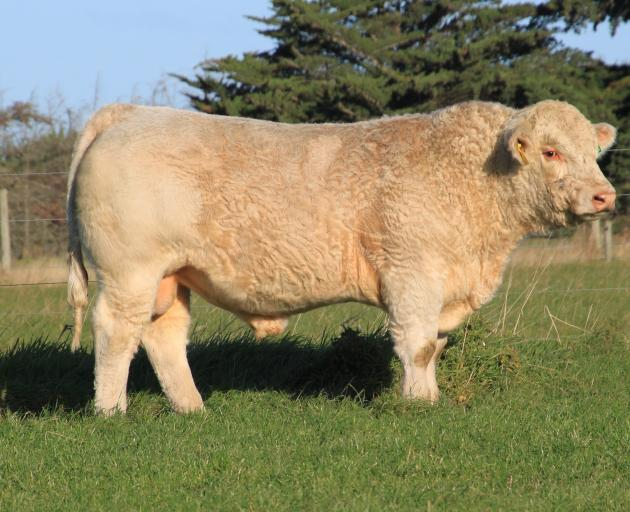 Charolais bull Silverstream Perriam P88 fetched the day's top price at the Silverstream Charolais...