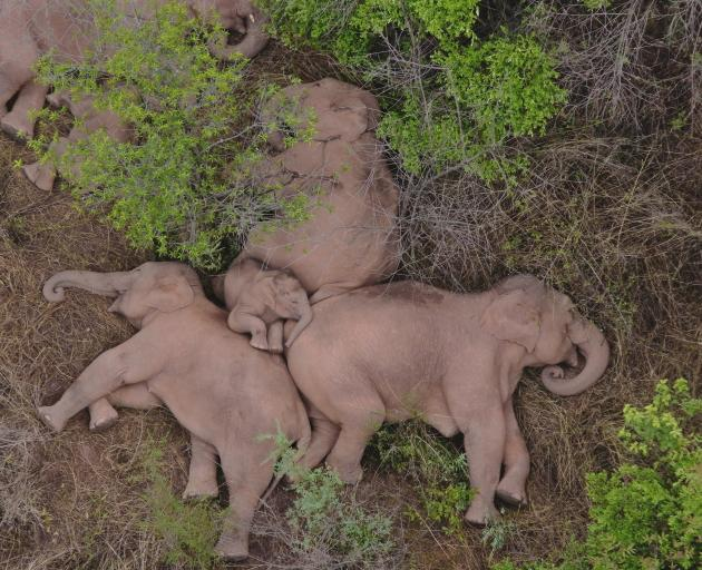 The wild Asian elephants enjoyed a rest in the Jinning district of Kunming, Yunnan province,...