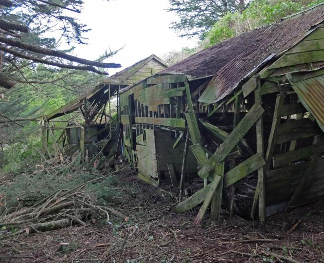 A stables and cowshed dating from the 1860s emerges from an overgrown macrocarpa hedge.