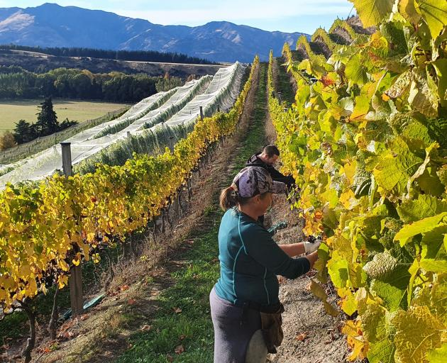 A high-yielding grape harvest bodes well for wine production over the coming year, the regional...