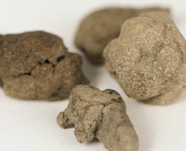 Moa coprolites, Otago Museum Collection PHOTO: SUPPLIED