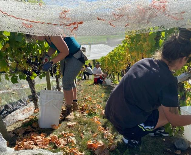 Staff members hard at work, harvesting grapes at Ostler Wines. PHOTO: SUPPLIED