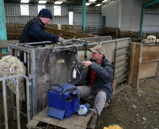 Rimu Downs Scanning scanner Karl Burgess (right) scans a ewe as assistant Martin Ford ...