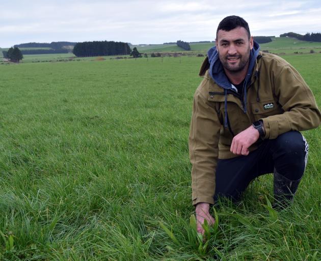 Dairy farmer Blake Korteweg inspects plantain crop growing in a paddock where he sharemilks in...