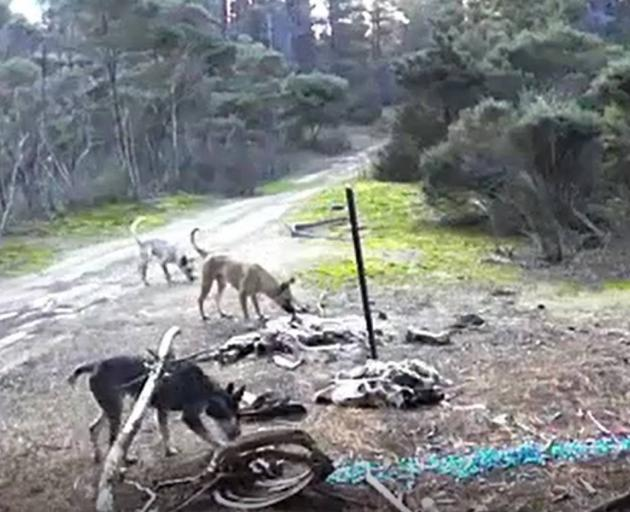 Feral dogs captured on a trail camera. Photo: Anne-Marie Nilsson